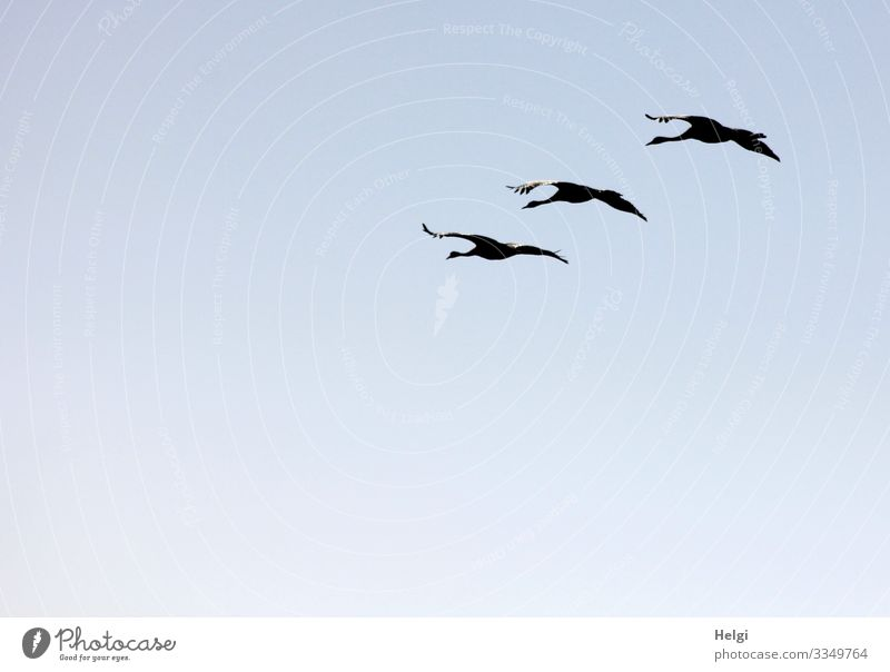 three cranes flying in formation against the light in front of a blue sky Environment Nature Animal Cloudless sky Autumn Beautiful weather Wild animal Bird