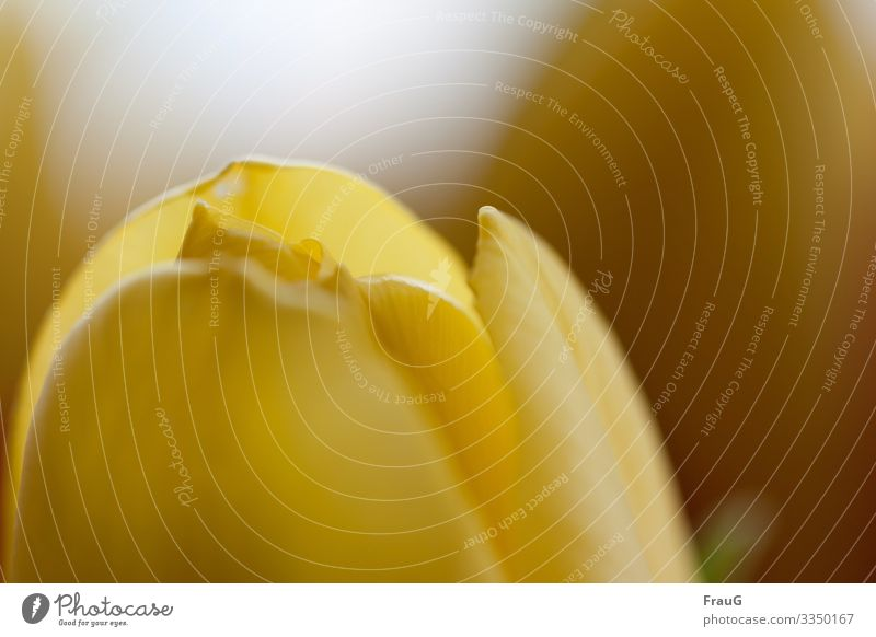 """herald of spring - yellow tulip Plant flower close-up Tulip """"Spring bloomers,"""" yellow flower Flower Close-up Blossom leave Blur lily plant"""