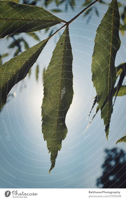 Chestnut (leaves) Summer Environment Growth Nature Plant Sky Cloudless sky Sun Weather Beautiful weather Tree Agricultural crop Garden Park Deserted Bright