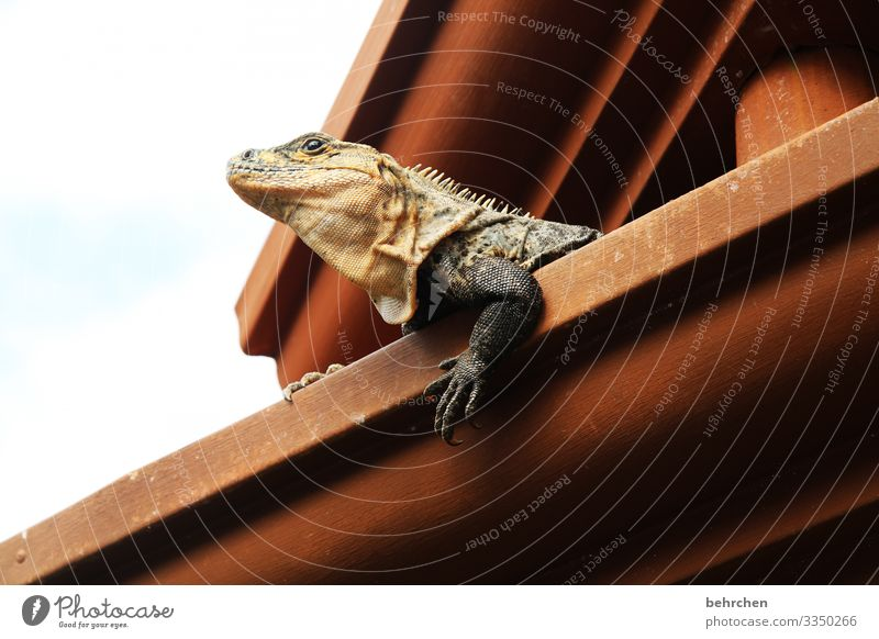 architecture and nature | squatters Flake Reptiles Cute especially Eaves Roof Gecko lizard Iguana Costa Rica Vacation & Travel Nature Trip Adventure Tourism