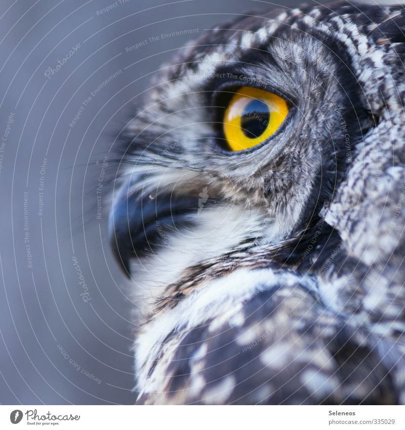sharp observation Environment Nature Animal Wild animal Bird Animal face Owl birds Owl eyes Eagle owl Beak Feather Plumed 1 Observe Near Natural Soft Close-up