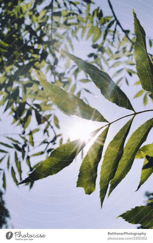 Chestnut (leaves in the sun) Summer Environment Nature Plant Sky Cloudless sky Sun Sunlight Fresh Green Weather Beautiful weather Tree Agricultural crop Garden