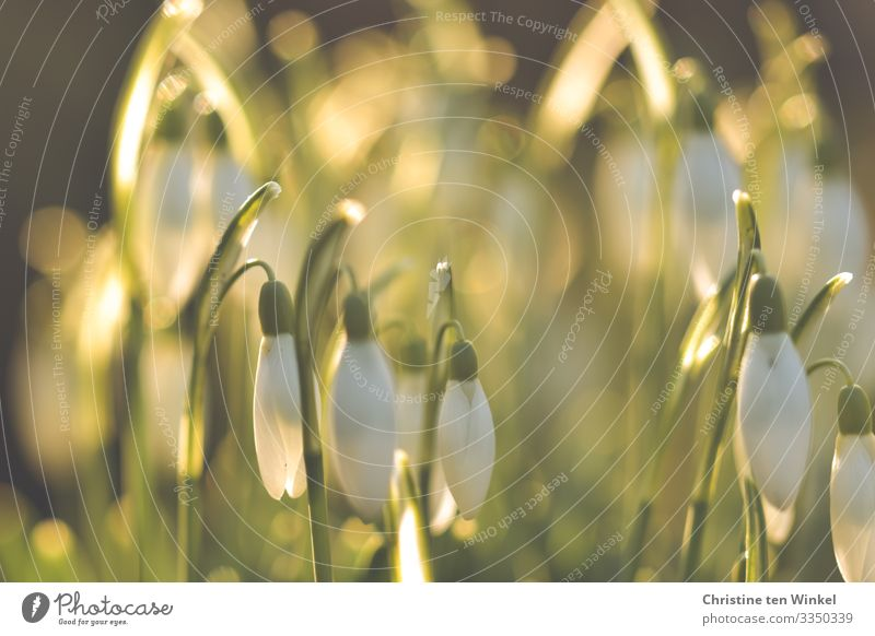Snowdrops against the light of the morning sun Nature Plant Sunlight Spring Winter Beautiful weather Leaf Blossom Esthetic Exceptional Happiness Glittering
