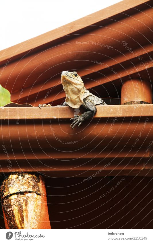 occupied | here I live! Cool Cool (slang) Detail Colour photo Funny Interesting Claw Flake Reptiles Cute Iguana lizard Gecko Roof Eaves especially Costa Rica