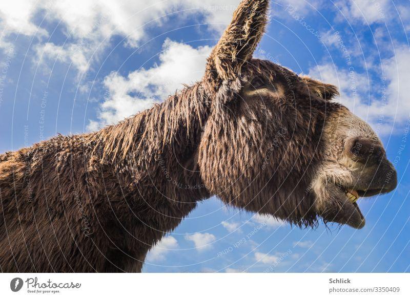 Poitou donkey Animal Farm animal Donkey 1 Scream iahen Set of teeth Ear Head Sky Blue Clouds Donkey Breed Nostrils Eyes Pelt Dark brown Long-haired Muzzle