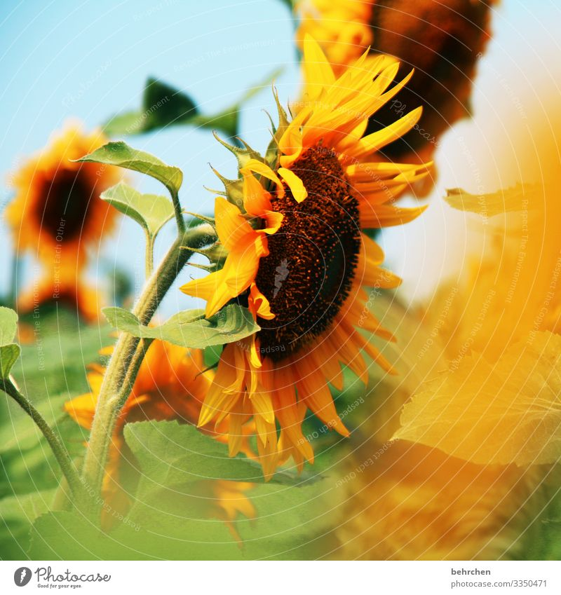 let the sun into your heart | sunflowers Blur Contrast Light Day Deserted Detail Close-up Exterior shot Colour photo Hope Beautiful weather Sunflower field