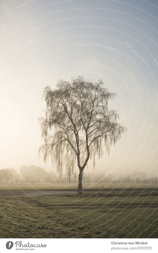 Weeping birch in the morning light Nature Landscape Cloudless sky Fog Plant Tree Birch tree Authentic Bright Cold Natural Beautiful Blue Green Emotions Sadness