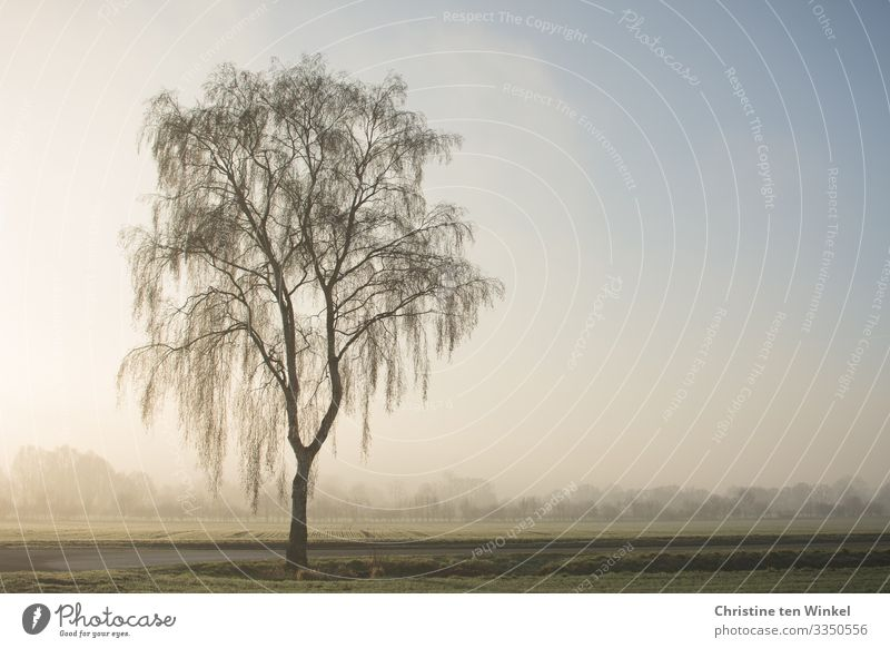 Tree in morning mist Environment Nature Landscape Sky Sunlight Winter Fog Plant Birch tree Field Forest Esthetic Authentic Friendliness Bright Cold Natural