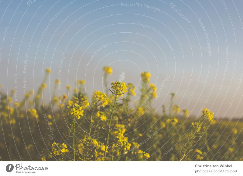flowering yellow mustard in front of blue, misty sky Environment Nature Cloudless sky Spring Autumn Winter Beautiful weather Plant Leaf Blossom