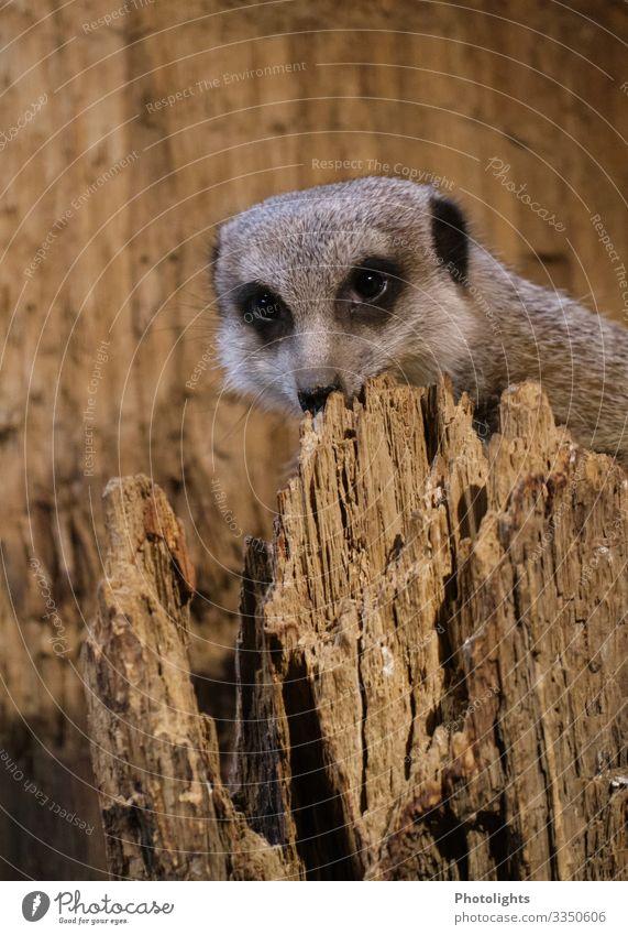 Look me in the eye, baby! Animal Park Wild animal Animal face Pelt Zoo Meerkat 1 Observe Cool (slang) Brash Astute Brown Black White on the lookout Curiosity