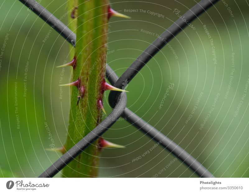 """""""Barbed Wire"""" Environment Nature Plant Bushes Foliage plant Blackberry Metal Barbed wire Threat Infinity Yellow Green Red Bans Clamp Spine Thorn Point Wired"""