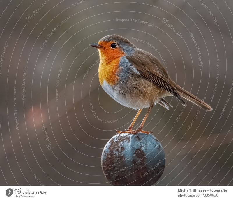 Robin on the fence post Nature Animal Sun Sunlight Beautiful weather Wild animal Bird Animal face Wing Claw Robin redbreast Head Beak Eyes Feather Plumed Legs 1