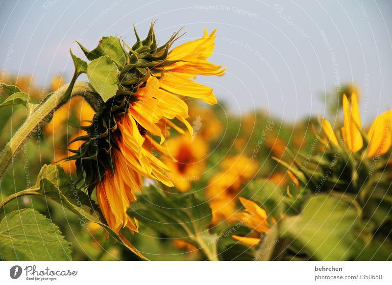 SONN(enSummer)DAY Nature Beautiful weather Flower Blossom Sunflower Light Garden Contrast Sunlight blurriness Sunflower field Day Deserted Detail Close-up