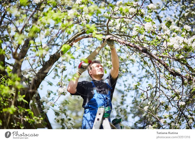 A man with a saw cuts a branch of a blooming apple tree. Leisure and hobbies Summer Garden Work and employment Gardening Tool Scissors Saw Man Adults Hand
