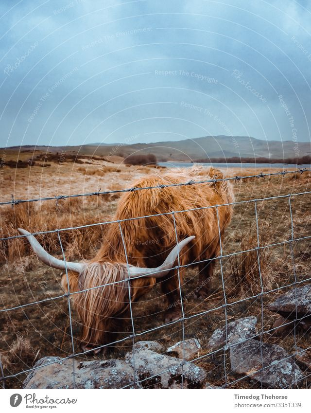 Highland Cow Eating Lake To feed Moody Scotsman Scottish cow Wales animal eating Dramatic Fence Highland cattle highland cow horns subject welsh Colour photo