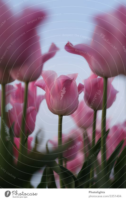 Pink tulips Nature Plant Spring Tulip Leaf Blossom Field Blossoming Fragrance Beautiful Green Red Romance Dream Calyx Lily plants Ornamental plant Park Garden