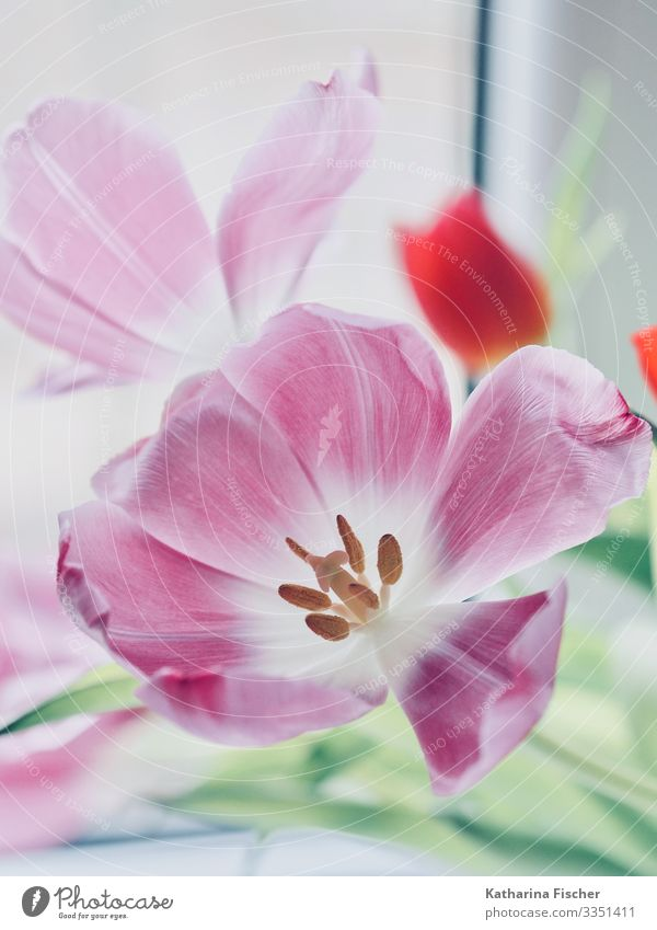 tulip season Nature Plant Spring Summer Autumn Winter Tulip Leaf Blossom Bouquet Blossoming Esthetic Beautiful Green Pink Red White Decoration Bud Pistil
