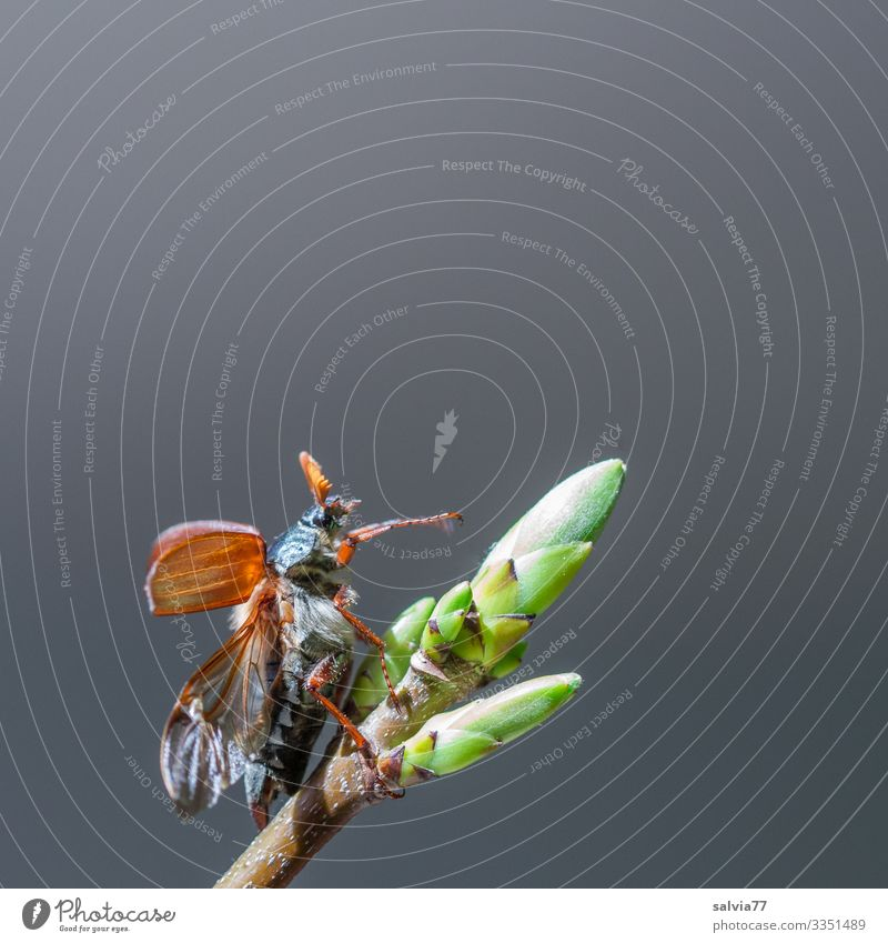 lifted off | almost done Environment Nature Spring Plant Leaf bud Animal Beetle Wing May bug 1 Flying Beginning Departure Colour photo Exterior shot
