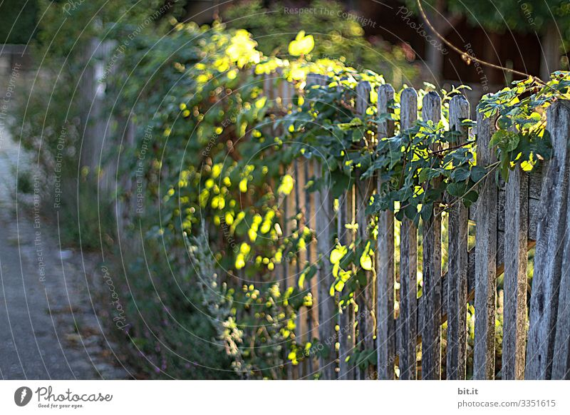 Hop-grown, natural, ecological, old, rustic garden fence made of wood with plants, shines beautifully idyllic in the sunlight / incidence of light / play of light at dusk, in the evening and morning.