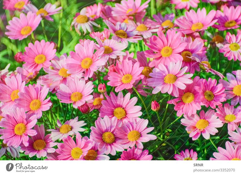 ?hrysanthemum Nature Plant Flower Blossom Blossoming anthesis blooming blossom out Chrysanthemum chrysanths daisy-like Floral florescence floret Bud