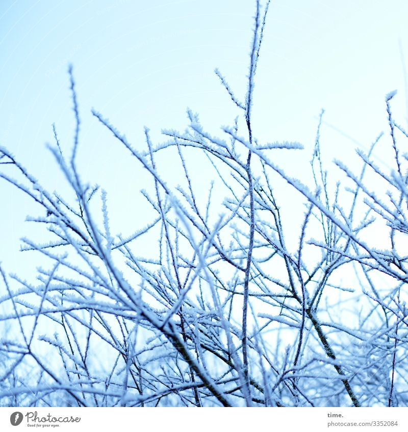 kind of powdered sugar | ice age Sky Winter Beautiful weather Snow Plant Bushes Branch Bright Cold Moody Together Life Endurance Esthetic Inspiration Complex