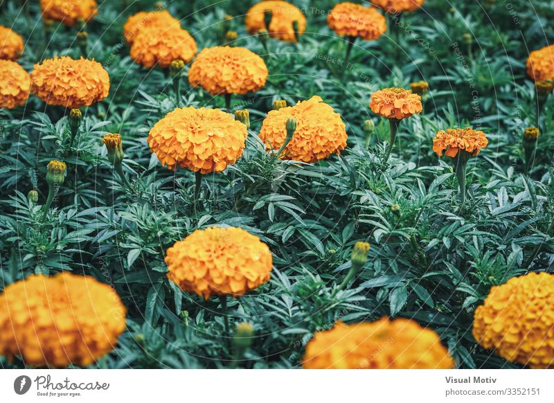 Flowers of African marigold Elegant Beautiful Garden Decoration Gardening Nature Plant Leaf Blossom Park Meadow Blossoming Growth Fresh Natural Green Colour