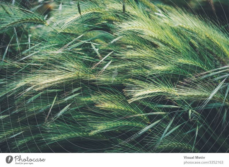 Young green spikes of wheat Garden Nature Landscape Plant Leaf Park Growth Natural Green Colour Cereal grain sunny Spigot Seasons spring Rural seed country