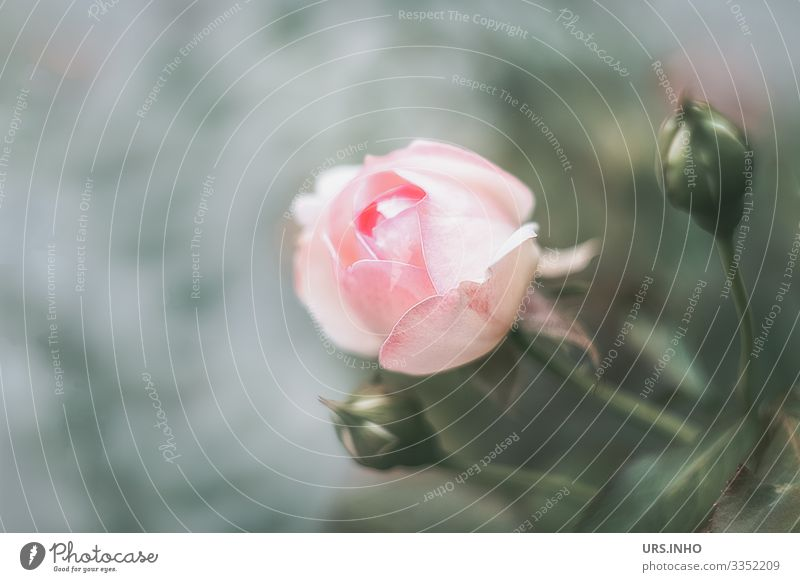 Rose blossom with two rose buds Nature Plant Flower Blossom Blossoming Growth Fragrance Thorny Green Pink Esthetic Culture Rose Bud Rosebud Leaf Blur
