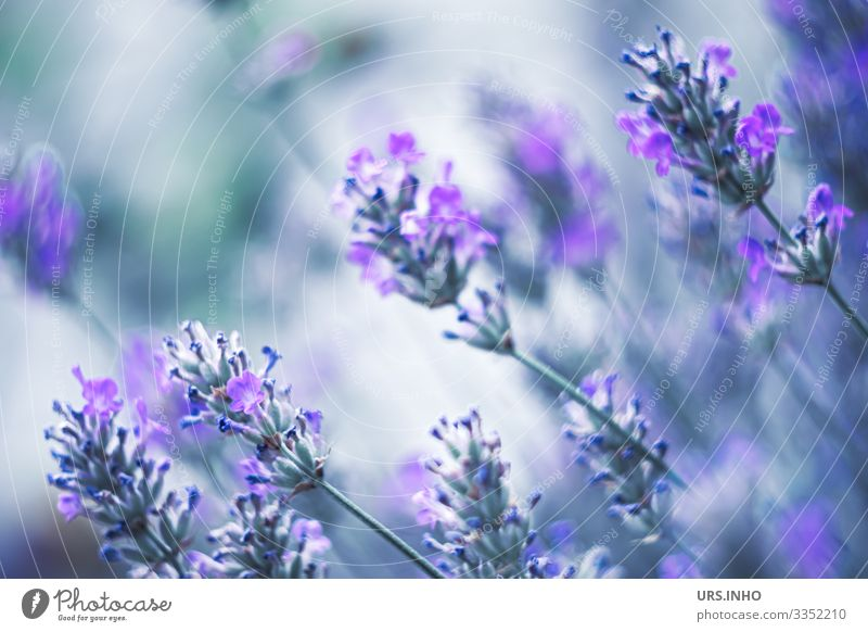Lavender in the summer wind Nature Plant Summer Flower Blossom Lavendula Blossoming Fragrance Beautiful Blue Green Labiate Ornamental plant cruel Aromatic