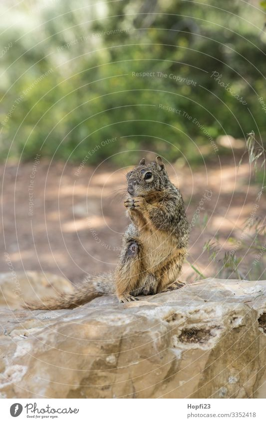Squirrel sitting on a rock Mammal Pelt Brown Small Sweet Rodent Stone Rock Bushes Green Sit nibble Gnaw Observe