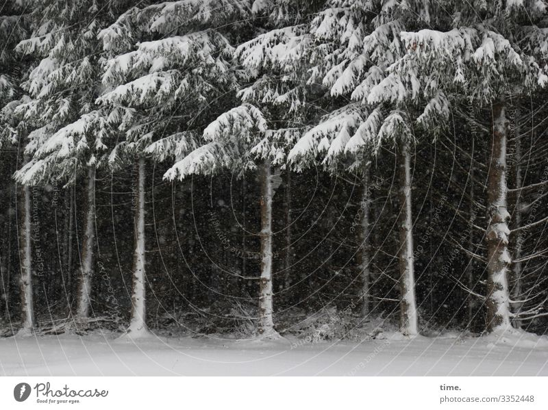Cohesion | Ice Age Winter Snow Snowfall Tree Pine Coniferous trees Edge of the forest Forest Dark Together Serene Patient Calm Endurance Unwavering Fatigue