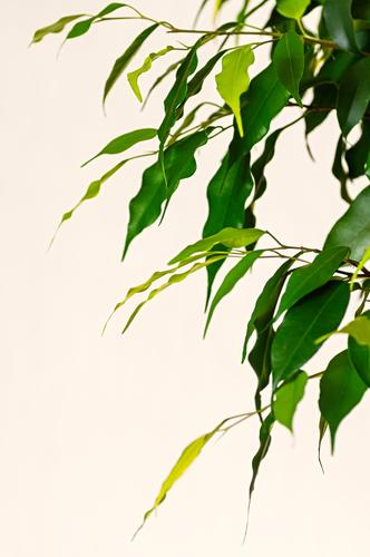 Young leaves of ficus benjamin close up. Exotic Flat (apartment) Decoration Office Nature Plant Tree Leaf Growth Natural Green Creativity benjamina Vertical