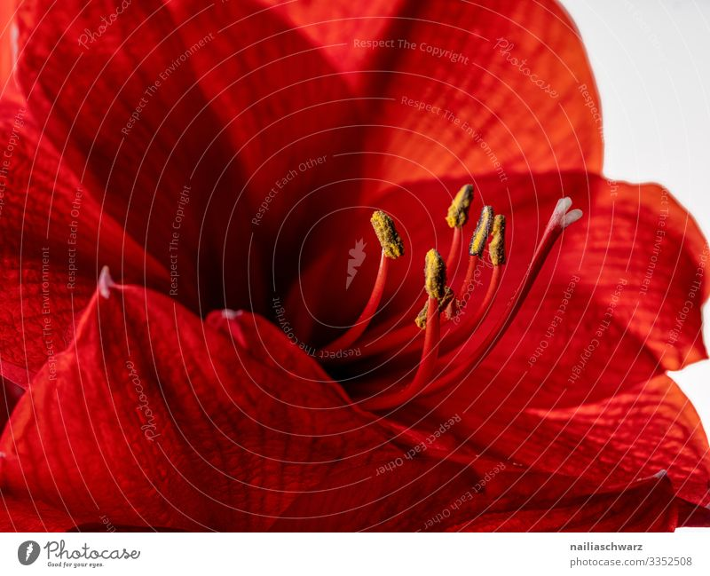 Red Amaryllis red amaryllis close macro close up white black background intense bud flower floral blossom beauty nature bloom blooming single flower red flower