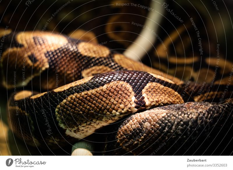 Nature Relaxation Animal Life Brown Wild Lie Threat Well-being Exotic Whorl Snake Reptiles Farm animal Scales Meandering