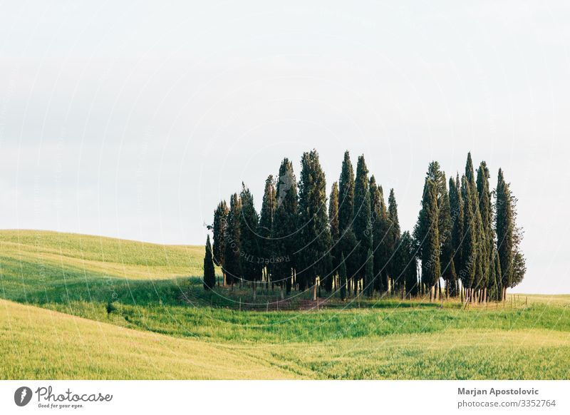 View of cypresses in countryside of Tuscany, Italy Environment Nature Landscape Plant Spring Summer Tree Grass Cypress Meadow Field Europe Beautiful Natural