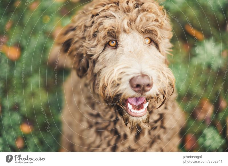 golden eye Environment Nature Grass Animal Pet Dog Animal face Labradoodle 1 Brown Yellow Gold Green Emotions Moody Joy Happy Contentment Trust Safety Truth