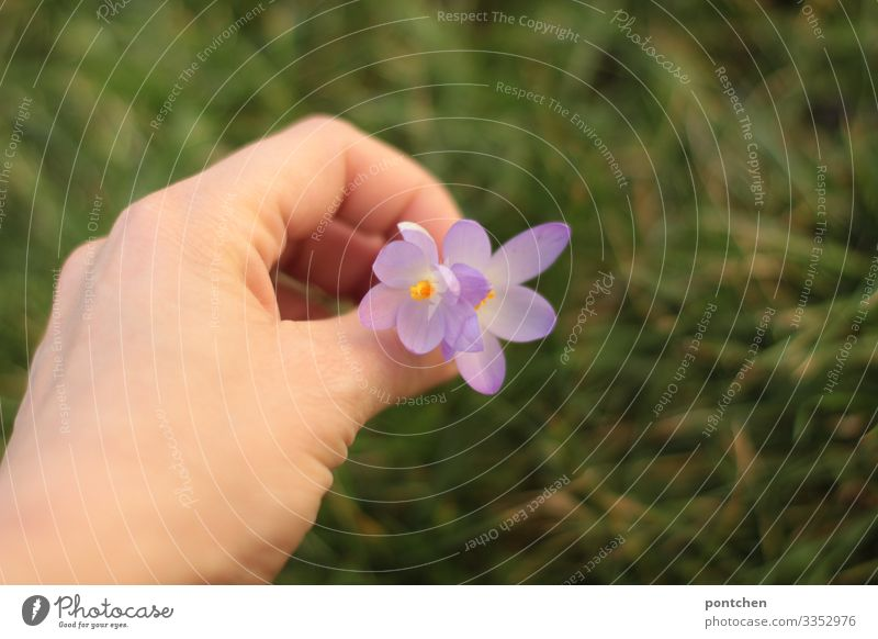 Female hand picking purple flowers. Green grass in the background Hand Environment Nature Plant Climate change Flower Grass Meadow Yellow Violet In pairs Pick