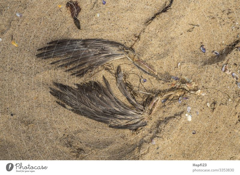 wing of a dead gull Sand Spring Summer Coast Beach Animal Dead animal Bird Wing 1 Brown Yellow Death Transience Lose Bone Remainder Decompose Colour photo