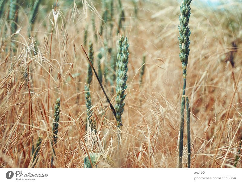 Got the spike Environment Nature Landscape Plant Spring Beautiful weather Agricultural crop Grain Grain field Ear of corn Blade of grass Field Movement Stand