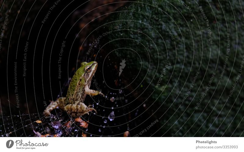 Frog in spider's web Garden Nature Animal Drops of water Autumn Bad weather Rain Farm animal Spider Spider's web 1 Observe Disgust Hideous Cold Wet Curiosity