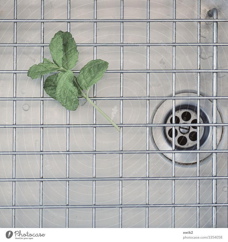 Melissa leaf Leaf Mint Drainage Sink Grating Metal Lie Wait Glittering Dry Drops of water Wet Balm Colour photo Interior shot Detail Structures and shapes