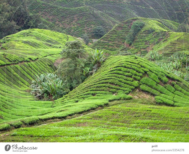Tea plantation in Malaysia Mountain Agriculture Forestry Landscape Plant Bushes Field Hill Lanes & trails Juicy Green cameron highlands Malaya pahang planting