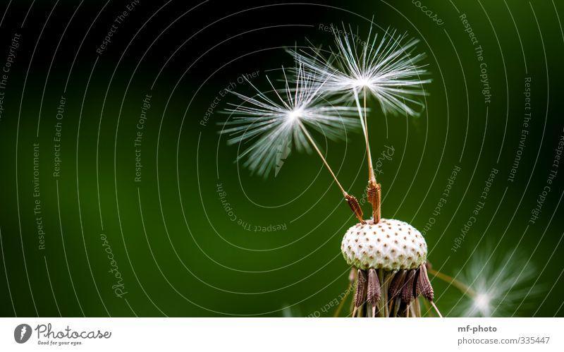 Nature Green White Plant Spring Garden Brown Dandelion