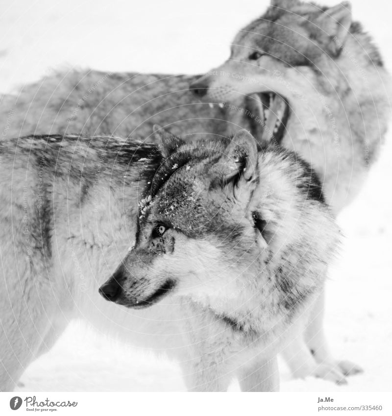 Dog Nature White Animal Black Gray Pair of animals Wild animal Observe Curiosity Pelt Animal face Listening Interest Pack Wolf