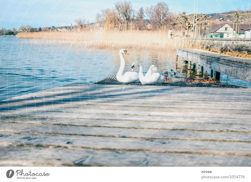 Swans on a landing stage Fish Well-being Trip Environment Nature Landscape Plant Winter Weather Beautiful weather Lakeside Lake zurich Switzerland Navigation