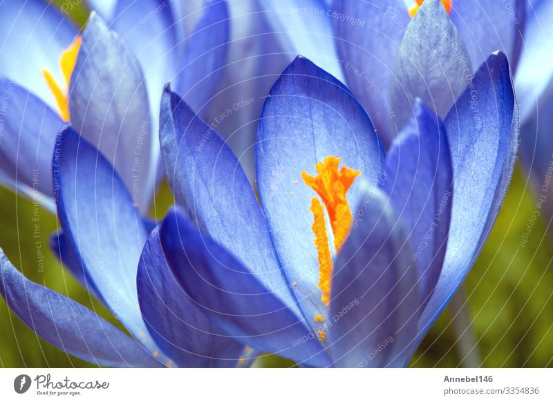 Gently blue crocuses. Crocus bush. Macro. Beautiful Garden Gardening Environment Nature Plant Flower Grass Leaf Blossom Park Meadow Forest Natural Blue Green