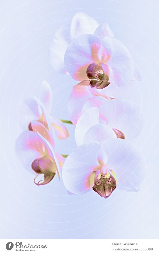White orchid in a neon light. Close-up. Elegant Design Exotic Interior design Decoration Feasts & Celebrations Valentine's Day Mother's Day Wedding Birthday