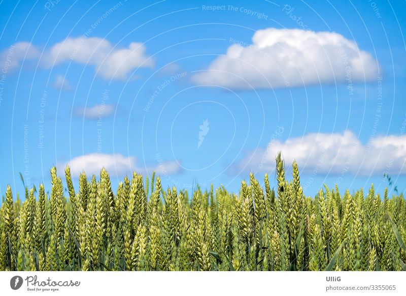 A field of grain ripening for harvest under a blue sky. Grain field Ear of corn Field Agriculture organic farming Agricultural crop Food Nature Plant Harvest