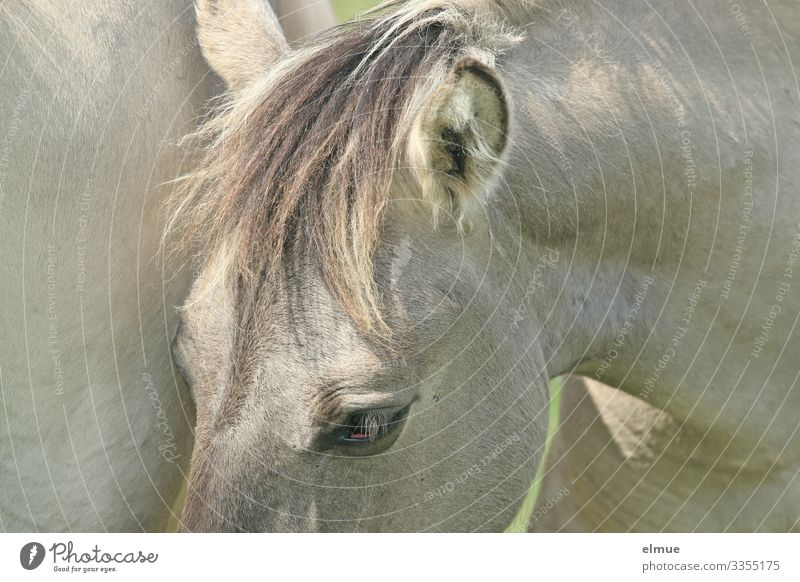 White horse with pony Horse Gray (horse) Pelt Coat color Eyes Ear Bangs Mane Stand Athletic Beautiful Near Happy Anticipation Trust Love of animals Adventure