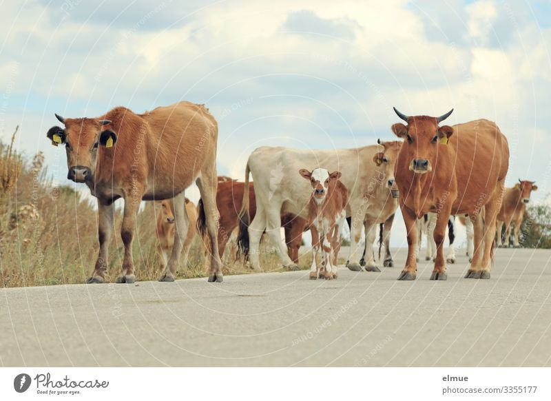 Herd of cattle with calves on a road Cow Cattle Vacation & Travel Adventure Sky Clouds Summer Beautiful weather Farm animal Calf horned cattle Cattleherd